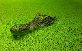 the alligator who head out of water