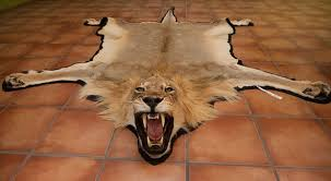 the big lie about lion trophy hunting africa geographic