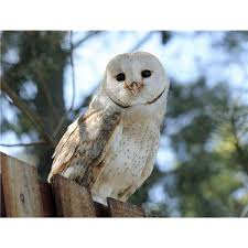 Where Does The Barn Owl Live Natural Habitat Of Owls