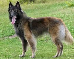 adopt a belgian sheepdog adopt a veteran album on imgur