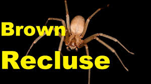 Brown Recluse Map Top 10 Shocking Brown Recluse Spider Facts Brown Recluse Bite