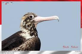 christmas island frigatebird u2013 shah u0027s birding