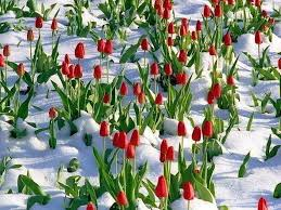 winter tulips flowers snow frost seasons ice blooms flower hd