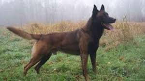 belgian malinois import pup for sale featured classifieds