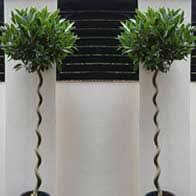 Real Topiary Trees For Sale - topiary topiary trees specialist nursery london uk
