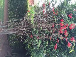poinsettia tree poinsettia tree are we growing as god intended rwanda 7