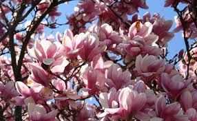 symbolism of a tree the meaning of the dream in which you saw magnolia