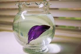 Betta In Vase View Topic Betta Abuse You May Be Doing It Chicken Smoothie