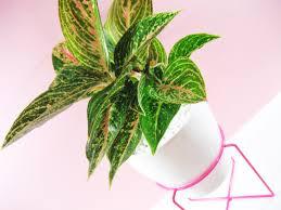 aglaonema plant profile aglaonema u2013 chinese lucky plant adorablest