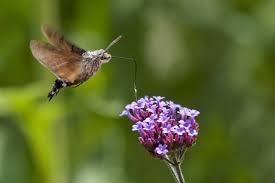 Hummingbird On A Flower - the amazing hummingbird hawk moth the ark in space