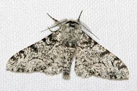 gene that changed peppered moths u0027 wing color found in butterflies