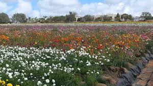 carlsbad flower garden the flower fields of carlsbad ranch youtube