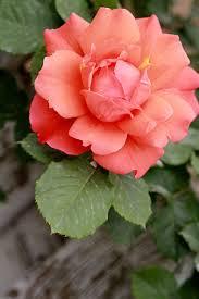 china with roses china nature china china and