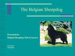 belgian sheepdog association the rottweiler american rottweiler club approved seminar ppt