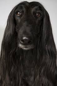 afghan hound kennel in australia landon nordeman afghan literally has a prettier face than some