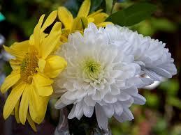 flowers beautiful yellow pretty flowers chrysanthemum white mums