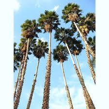 washintonia robusta mexican fan palm tree ornamental palms plant