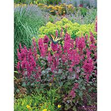 Hummingbird Plant Hyssop Perennials Garden Plants U0026 Flowers The Home Depot