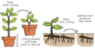 Vegetative Propagation By Roots - what is artificial vegetative propagation in asexual reproduction