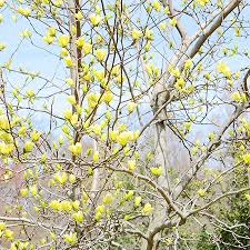 magnolia butterflies tree for sale fast growing trees
