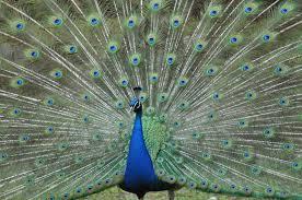 merak biru gambar sayap roda hijau paruh warna biru fauna bulu