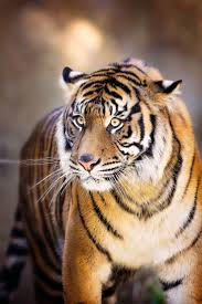 best 25 tiger eyes ideas on pinterest tigers tiger pictures