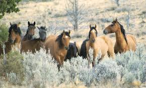kiger mustangs for sale kiger mustang breed the trail rider