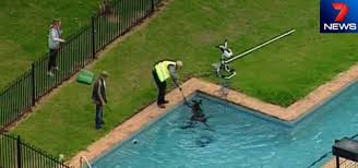 Deep Backyard Pool by Drowning Kangaroo Saved From Australian Pool U2014 Orlando Pool Leak
