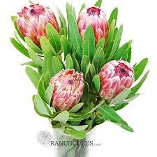 Protea Flower Protea Flowers Pink Bulk Protea