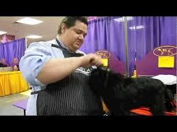 affenpinscher joe affenpinscher joey best in show 2013 westminster dog show