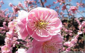Flower Japan Sakura Flower Interflora Japanese Whiteeye And