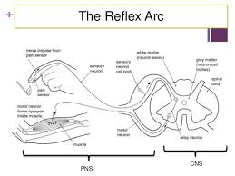 Motor Reflex Arc Grade 12 Lesson 5 The Nervous System