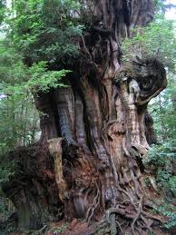 douglas maple acer glabrum pacific northwest native tree western red cedar thuja plicata olympic national park kalaloch