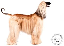 afghan hound national dog show faces of the akc eukanuba national championship day 2 dog