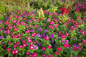 flower garden games online 10 tall annual flowers for impact