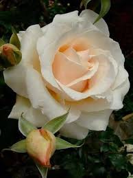 186 best roses 3 images on pinterest beautiful roses flowers