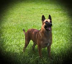 belgian shepherd rescue dogs k 9 breeds german shepherds and belgian malinois u2014 skeleton keys