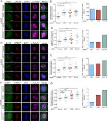 dynein light intermediate chain 2 facilitates the metaphase to