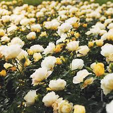 drift roses popcorn drift for sale fast growing trees