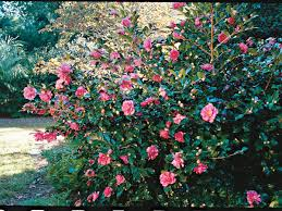 the camelia for fall southern living