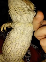 Bearded Dragon Behavior Before Shedding by Is This Yellow Fungus U2022 Bearded Dragon Org