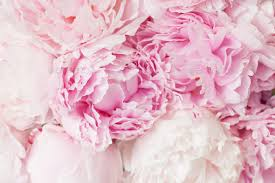 peony flowers beautiful pink peony flower background stock photo by duskbabe