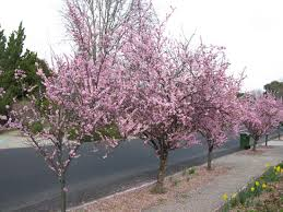 100 thundercloud flowering plum ornamental trees u0026