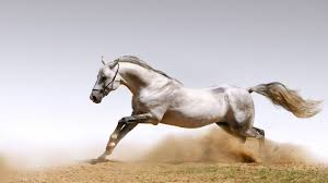 horses wallpaper widescreen white horse download hd wallpapers