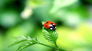 cute pics for background ladybug wallpaper cliparts free download clip art free clip