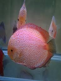 Buy Ornamental Fish Hamdan Ornamental Fish Farm Agriculture Tirur Station