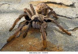 baboon spider stock photos baboon spider stock images alamy