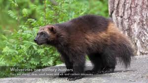 North Dakota Wild Animals images Rare rocky mountain wolverine killed in n d jpg