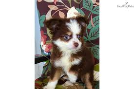 australian shepherd puppies for sale los angeles teacup red tri australian shepherd puppy for sale near tyler