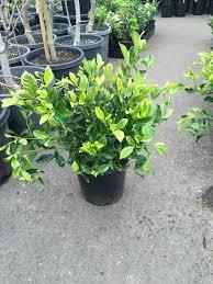 sweet viburnum 200mm pot viburnum gardenia florida westlake nursery